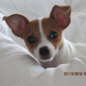 Is My Dog a Full Blooded Chihuahua? - brown and white dog on a white comforter, only head and part of back showing