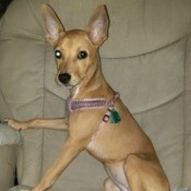 Is My Chihuahua Mixed? - pretty light brown dog with large ears