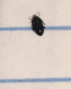 Identifying a Small Black Bug - shiny black bug