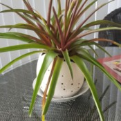 Identifying a Houseplant - plant with long green leaves with red undersides