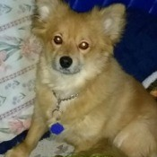 Chase (Pomeranian/Corgi Mix) - cute tan mix breed dog