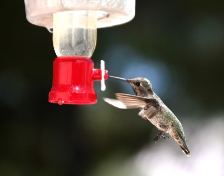 Iced Feeder for the Hummingbirds - closeup of hummingbird at feeder