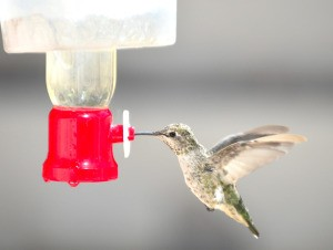 A hummingbird drinking from an iced feeder.