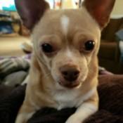 Princess (Chihuahua) - closeup of a tan and white Chi