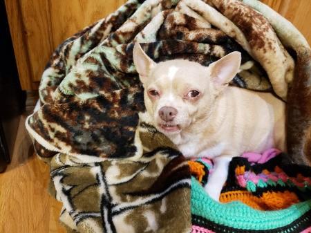 Princess (Chihuahua)