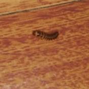 Identifying Household Bugs - long segmented, multilegged bug