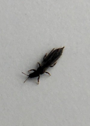 Identifying Small Black Bugs - long black insect