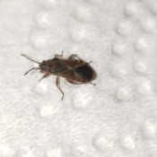 Identifying a Household Bug - brown bug with an X pattern on back