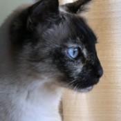 Olivia (Siamese Mix) - closeup of a Siamese mix