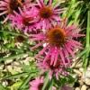 Fuchsia Indiana Echinacea  - purple flowers