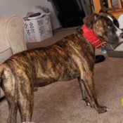 Average Weight for a 7 Month Old Pit Bull Puppy - slender brindle Pit Puppy