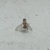 Identifying Flying Insects in My Kitchen - small flying insect
