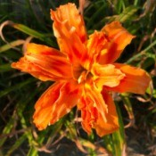 Tiger Daylily - orange multitiered daylily