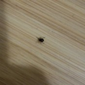 Identifying Small Black Bugs in an Old House - black slightly bulbous bug