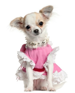 A small dog in a pink dress.