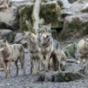 A wolf pack with a rocky background.