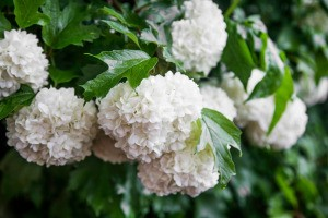 A snowball bush in full bloom.