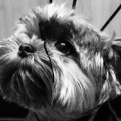 Causes of Sudden Death in Dogs - black and white photo of a Yorkshire Terrier