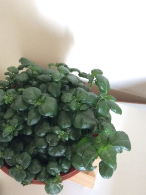 Identifying a Houseplant - green foliage plant with rounded tip leaves