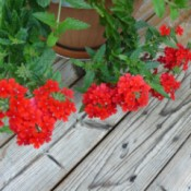 What Is This Garden Flower? - looks like a red verbena