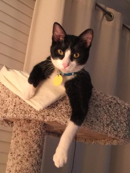 Rocket (Domestic Shorthair) - tuxedo cat on top of cat tree