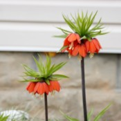 What Is This Flower? - multiple small bell shaped orange flowers atop a thin stalk
