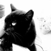 Panfur (Domestic Shorthair) - black cat