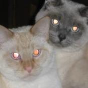Dexter & Trinity (Siamese) - two Siamese cats