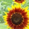 Yellow and orange sunflowers.