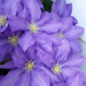 Purple clematis in bloom.