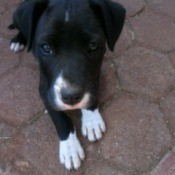 Is My Pit Bull Pure Bred? - black and white puppy