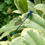 Blue Dragonfly at San Diego Botanic Garden - blue dragonfly on a light green and cream colored leaf