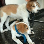 What Is My Dog's Breed Mix? - mixed breed dog, perhaps with Beagle