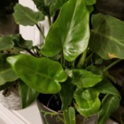 What Is This Houseplant? - elongated heart shaped green foliage plant