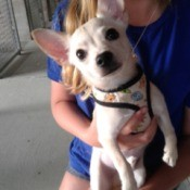 What Is My Chihuahua Mixed With? - light tan and cream colored dog
