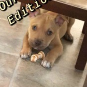 Is My Puppy a Pit Bull? - brown puppy with white on feet lying under a table