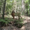 Cades Cove Tennessee - deer in the trees