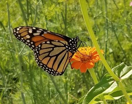 Monarch on a Zinnia - butterfly on an orange zinna
