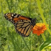 Monarch on a Zinnia - butterfly on an orange zinna