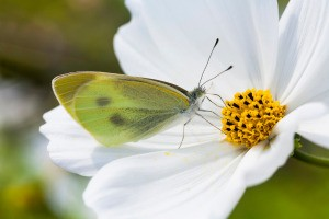 Flowers that Attract Butterflies - butterfly on a white cosmos
