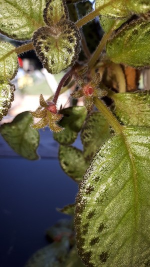 Identifying a Houseplant - variegated fuzzy leafed plant upclose