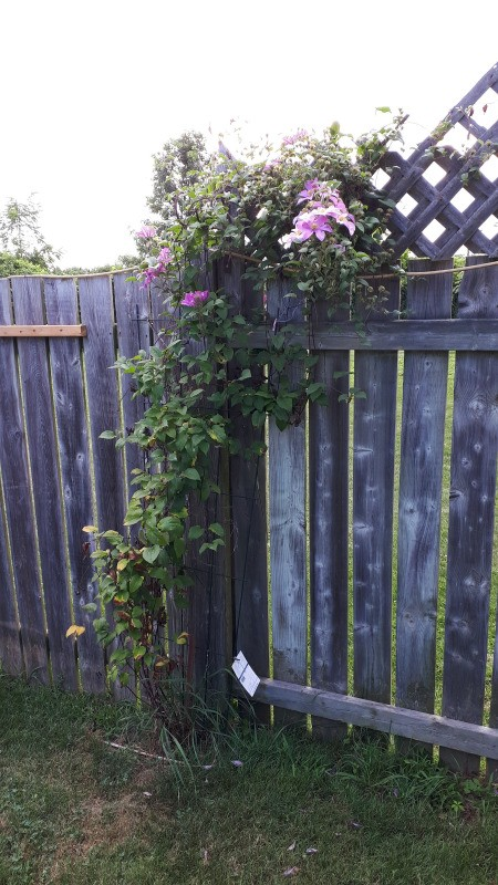 Clematis Dying Back