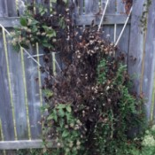 Clematis Dying Back - one of two clematis plants dying back