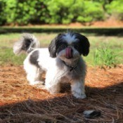 Kloie (Shih Tzu) - dog with its tongue up licking its nose