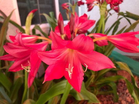 Red lilies in bloom.