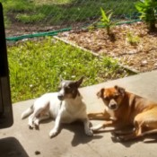 Spot (Chihuahua Boston Terrier Mix) - Spot and a brown mixed breed dog on the patio