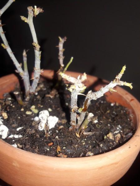 Leaves Died on Rose Bushes - nude rose bush stems