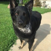 Is My Dog a Pure Bred German Shepherd? - black dog with tan on feet