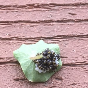Identifying Insect Eggs - bugs and eggs on the back of a leaf