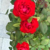 Red roses in bloom.